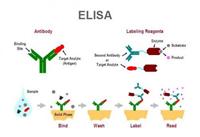 PP裸鼠蛋白磷酸酶(PP)ELISA试剂盒